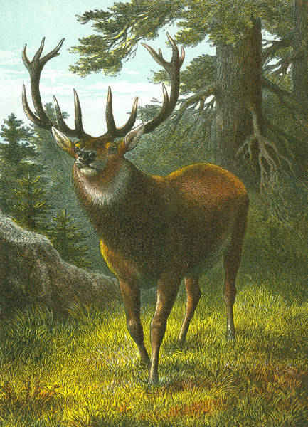 Antlers Drawing - The Wapiti by English School