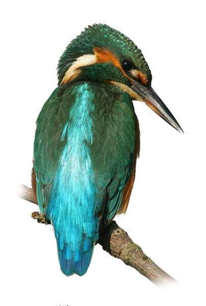 Photograph - The Watchful Kingfisher T-shirt by Tony Mills