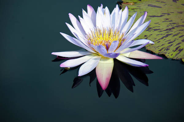 Photograph - The Water Lily by David Sutton