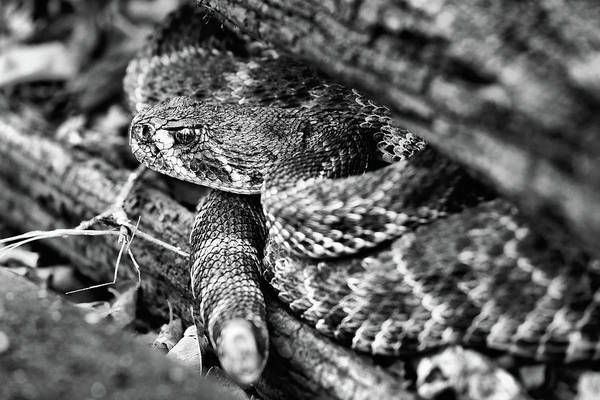 Photograph - The Western Diamondback Rattlesnake Black And White by JC Findley