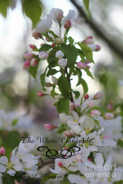 Digital Art - The White Crabapple by Donna L Munro