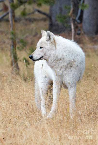Alpha Wolf Wall Art - Photograph - The White Lady by Deby Dixon