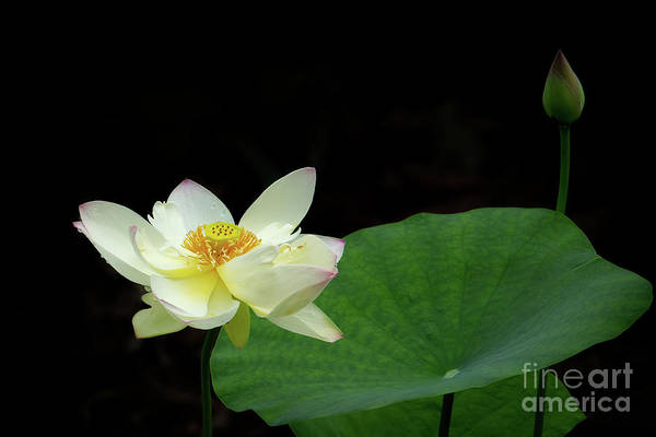 Photograph - The White Lotus And A Bud by Sabrina L Ryan