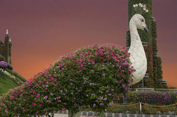 Wall Art - Photograph - The White Peacock by Art Spectrum