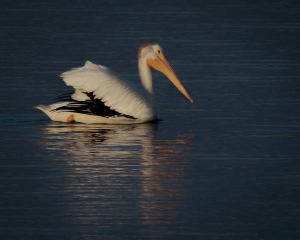 Shore Bird Digital Art - The White Pelican 3 by Ernie Echols