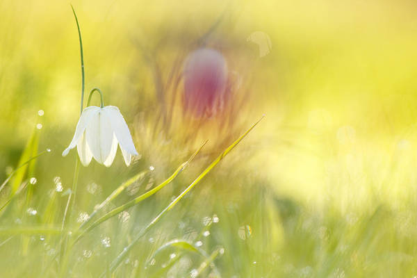 Fritillaria Photograph - The White Queen by Roeselien Raimond