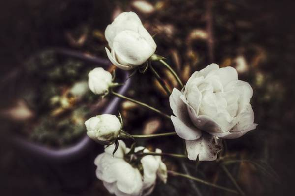 Photograph - The Whites by Abbie Shores