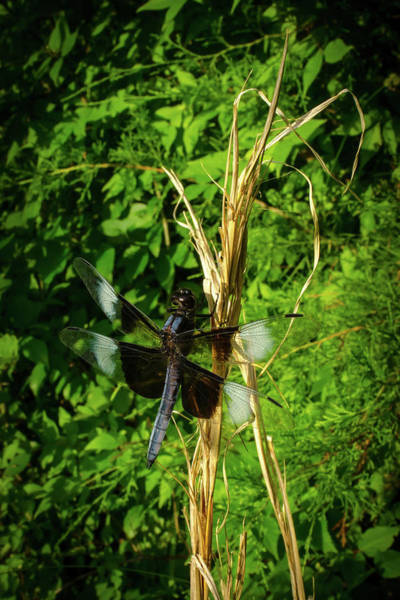 Photograph - The Widow Skimmer by Jeff Phillippi