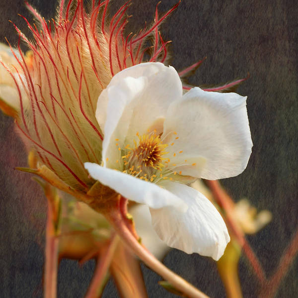 Photograph - The Wild Apache Plume by Susan Rissi Tregoning