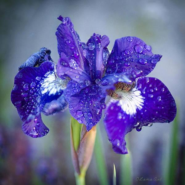 Photograph - The Wild Iris by OLena Art - Lena Owens