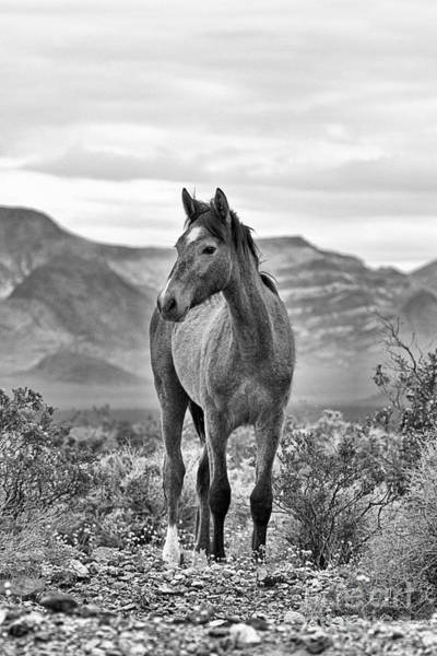 Photograph - The Wild One Black And White by Adam Jewell