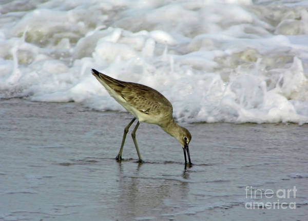 Photograph - The Willet And The Wave by D Hackett