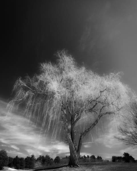 Photograph - The Willow by Michael Hubley