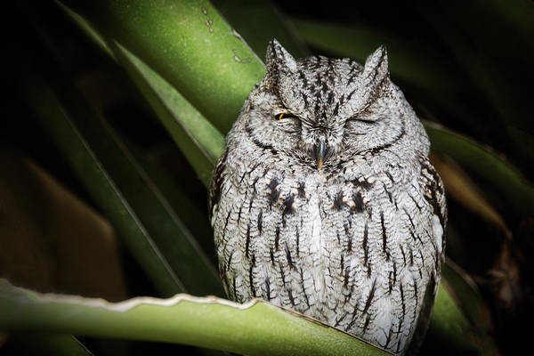 Screech Owl Photograph - The Wink  by Saija Lehtonen