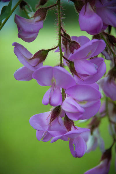 Photograph - The Wisteria by Mark Dodd
