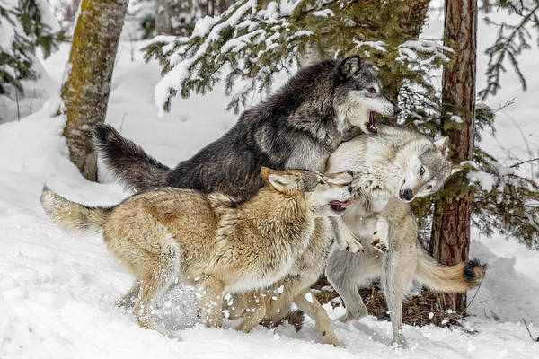 Photograph - The Wolf Pack by Wes and Dotty Weber
