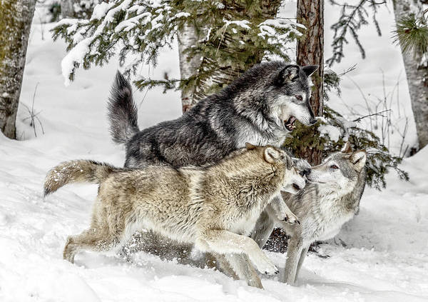 Photograph - The Wolf Pack II by Wes and Dotty Weber