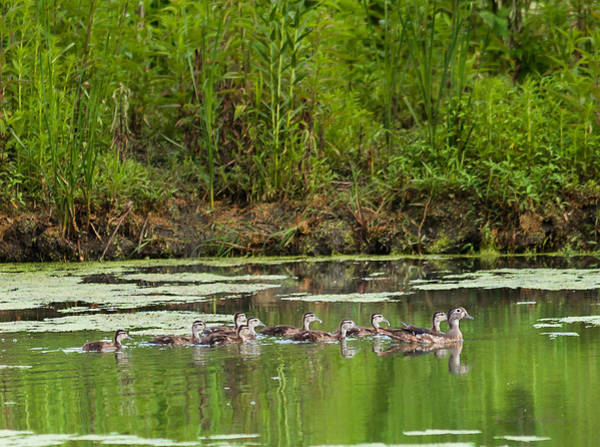 Photograph - The Wood Duck Family by Edward Peterson