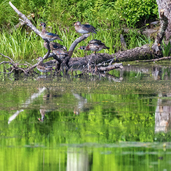 Photograph - The Wood Ducks by Bill Wakeley