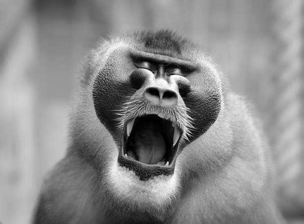 Mono Photograph - The Yawn I by Antje Wenner