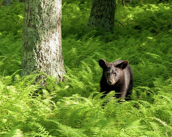 Photograph - The Yearling Bear by Lara Ellis