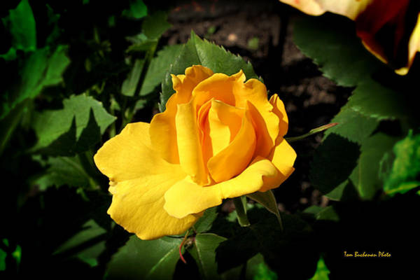 Wall Art - Photograph - The Yellow Rose Of Garden by Tom Buchanan