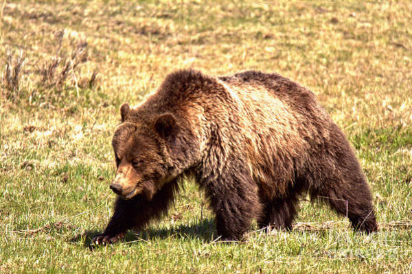 Photograph - The Yellowstone Grizzly Strut by Adam Jewell