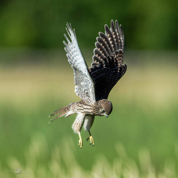 Photograph - The Young Hovering Kestrel by Torbjorn Swenelius