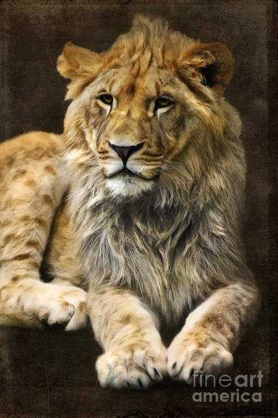 Digital Art - The Young Lion by Angela Doelling AD DESIGN Photo and PhotoArt