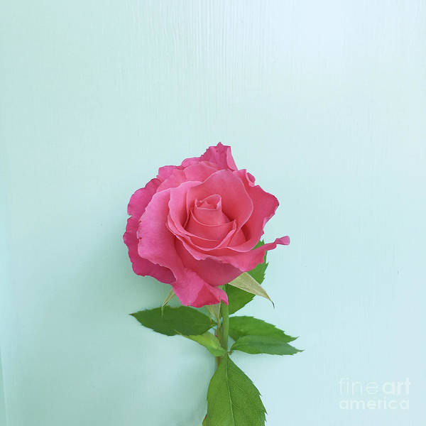 Photograph - There Is Simply The Rose by Cindy Garber Iverson