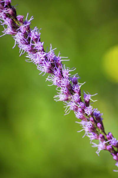 Liatris Spicata Photograph - There You Are Blazing Star by William Tasker