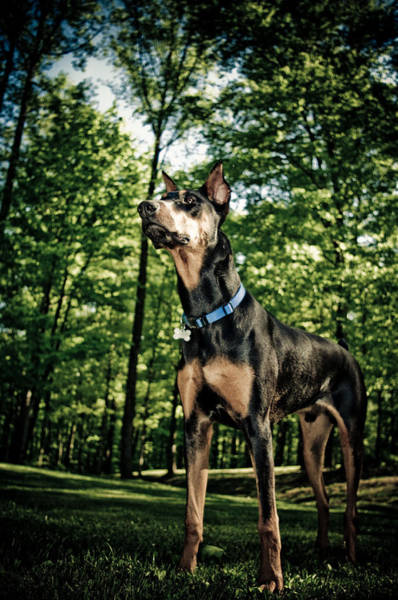 Doberman Photograph - They Grow Up So Fast by Melissa  Riggs