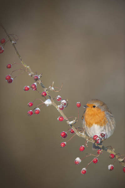Red Robin Photograph - They're All Mine by Andy Astbury