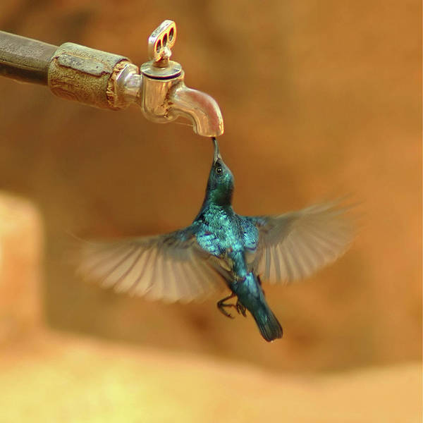 Humming Bird Wall Art - Photograph - Thirst by Mukesh Srivastava