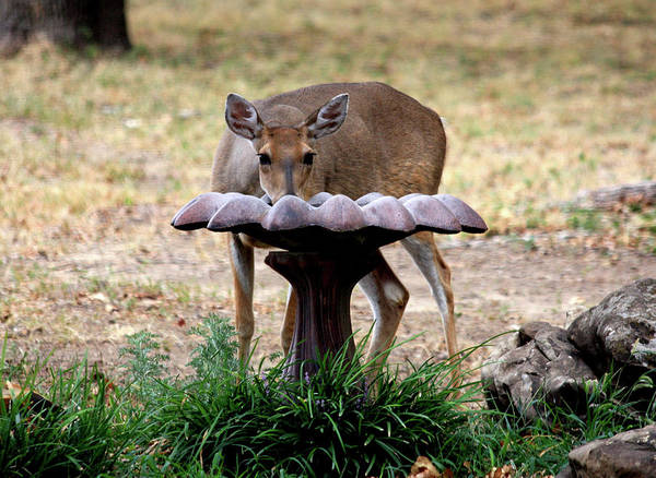 Photograph - Thirsty Deer by Sheila Brown