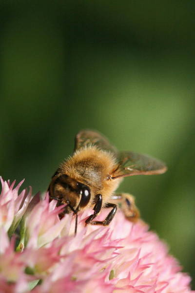 Photograph - Thirsty For Nectar by Angela Rath