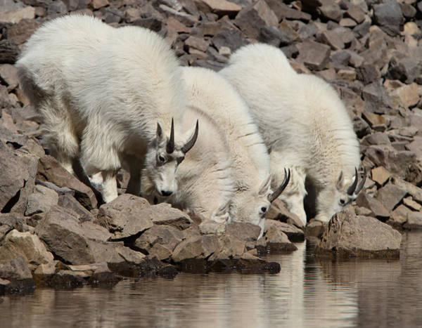 Photograph - Thirsty Goats by Kent Keller