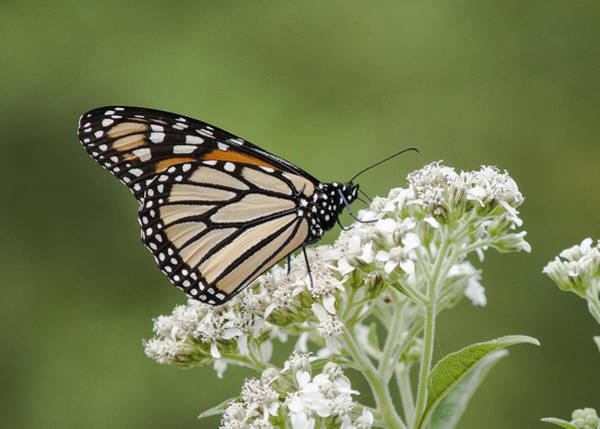 Photograph - Thirsty Monarch by Robert Potts