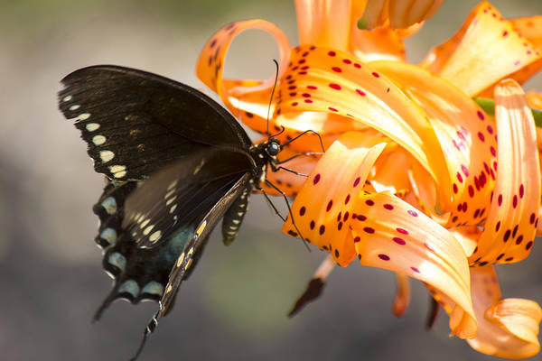 Tigerlily Wall Art - Photograph - This Butterfly Loves Tiger Lilies by Michael Mercker