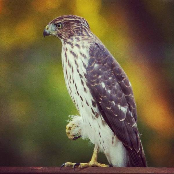 Bird Photograph - Coopers Hawk by Heidi Hermes