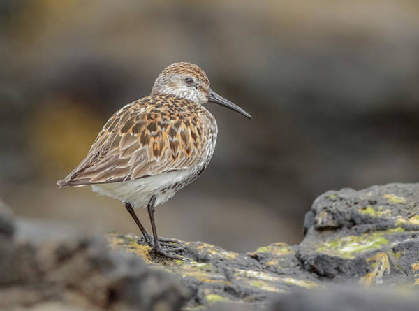 Dunlin Photograph - This Dunlin Rocks by Roy McPeak