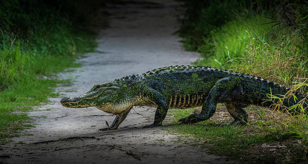 Gator Wall Art - Photograph - This Is My Trail by Marvin Spates