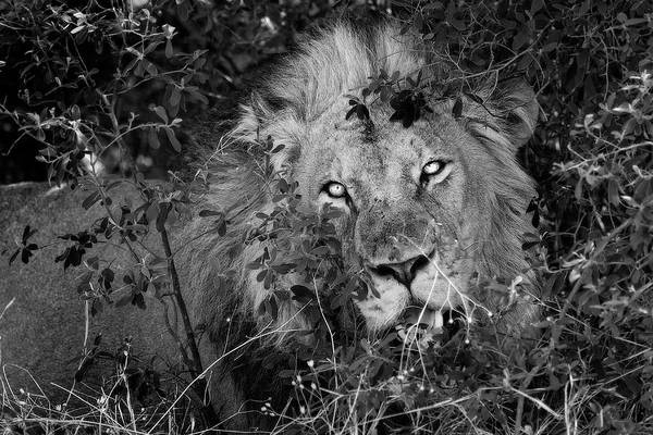Photograph - This Lion Is Watching You And Is Hungry by Kay Brewer