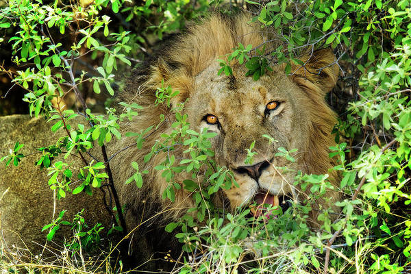 Photograph - This Lion Is Watching You by Kay Brewer