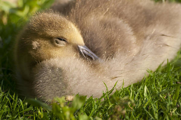 Photograph - This Little Guy Needs A Nap by Sven Brogren