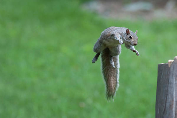 Photograph - This Squirrel Can Fly by Dan Friend