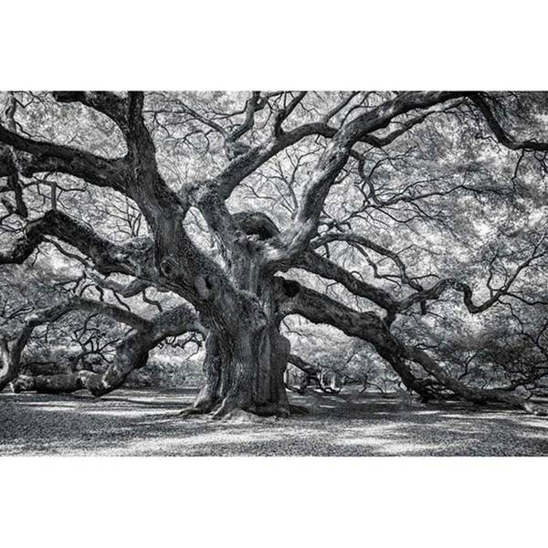 Wall Art - Photograph - This Tree Is Located In Charleston by Jon Glaser