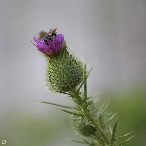 Photograph - Thistle And Bee 2 by John Meader