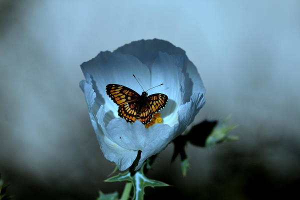 Wall Art - Photograph - Thistle Butterfly by George Gries