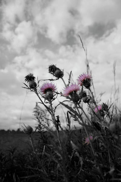 Photograph - Thistle by Dylan Punke